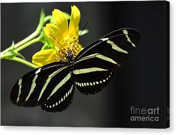 Zebra Heliconian Butterfly Canvas Print by Kathy Gibbons
