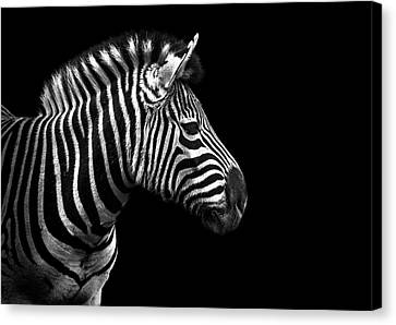 Zebra In Black And White Canvas Print by Malcolm MacGregor