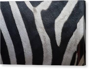 Zebra Canvas Print by Linda Geiger