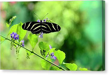 Canvas Print featuring the photograph Zebra Longwing Butterfly by Corinne Rhode