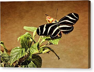 Canvas Print featuring the photograph Zebra Longwing by Dawn Currie