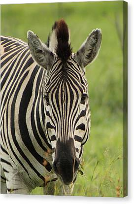 Zebra Looking At You Canvas Print by Denise Dean