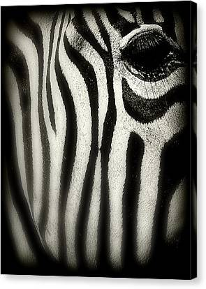 Zebra Canvas Print by Perry Webster