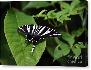 Zebra Swallowtail On Green Canvas Print