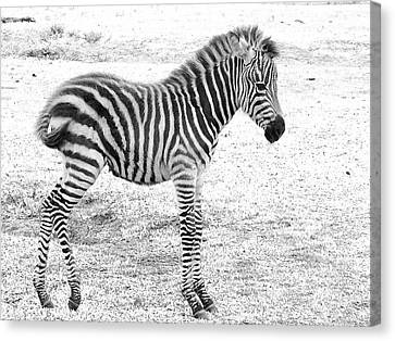 Canvas Print featuring the photograph Zebra White And Black Photography by David Mckinney