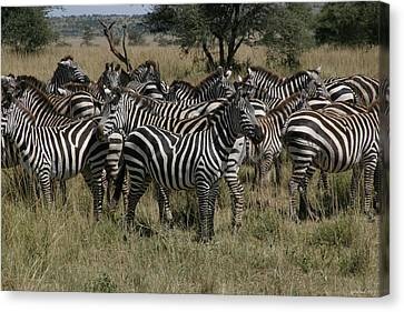 Zebra Zebra Zebra Canvas Print by Joseph G Holland