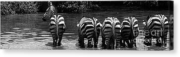 Zebras Cautiously Drinking Canvas Print by Darcy Michaelchuk
