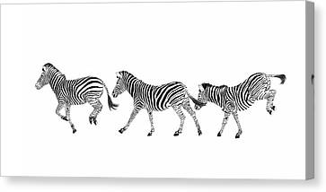 Zebras Dancing Canvas Print