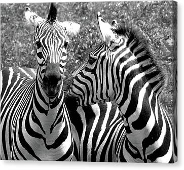 Zebras In Black And White Canvas Print by Susan Lafleur