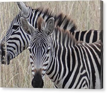 Exploramum Canvas Print - Zebras In Kenya 6 by Exploramum Exploramum