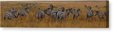 Exploramum Canvas Print - Zebras In The Grass - Panoramic by Exploramum Exploramum
