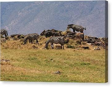 Zebras In The Ngorongoro Crater, Tanzania Canvas Print by Aidan Moran