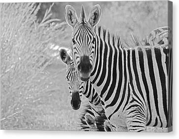 Zebras Canvas Print by Patrick Kain