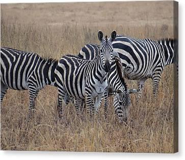 Zebras Walking In The Grass 2 Canvas Print by Exploramum Exploramum
