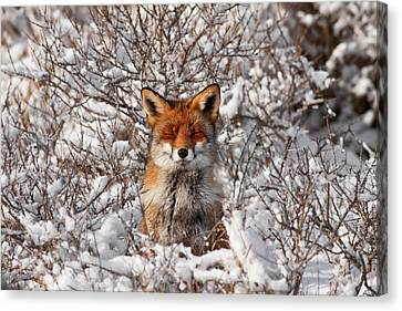 Zen Fox Series - Zen Fox In The Snow Canvas Print by Roeselien Raimond