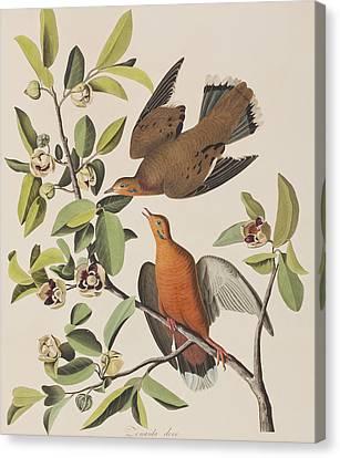 Zenaida Dove Canvas Print by John James Audubon
