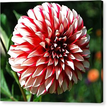 Zesty Dahlia Canvas Print