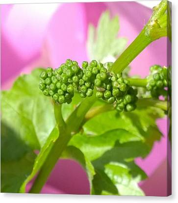 Food And Beverage Canvas Print - #zinfandel #wine #grapes Baby Buds by Shari Warren