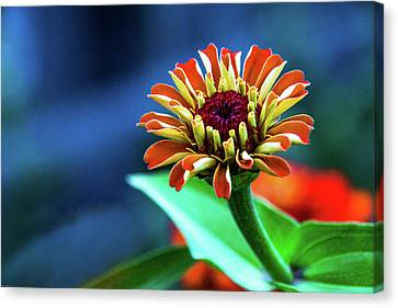 Zinnia Ascending Canvas Print by Mick Anderson