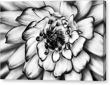 Zinnia Close Up In Black And White Canvas Print by Mark Kiver