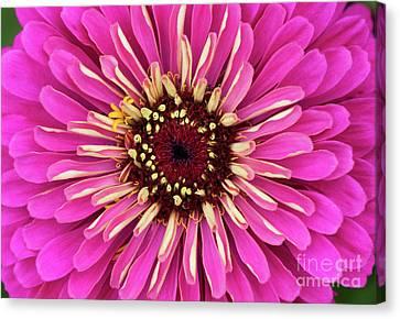 Perennial Canvas Print - Zinnia Elegans Uproar Rose by Tim Gainey