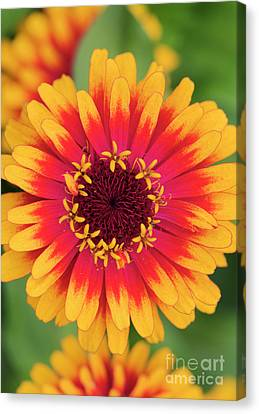 Canvas Print featuring the photograph Zinnia Elegans Zowie Yellow Flame Flower  by Tim Gainey