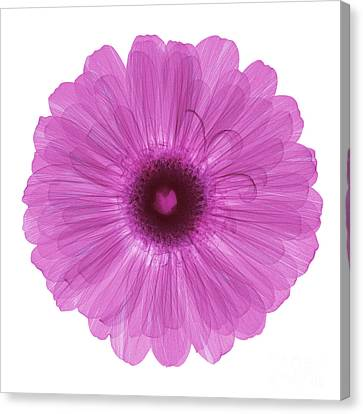 Zinnia Flower, X-ray Canvas Print