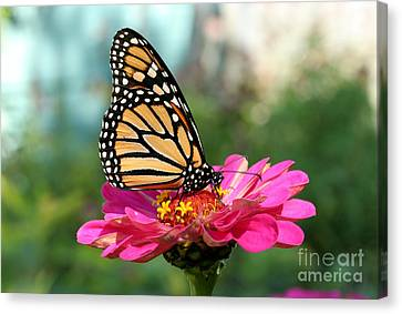 Zinnia With The Monarch Canvas Print by Steve Augustin
