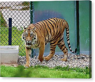 Canvas Print featuring the photograph Zoo Tiger Staring At Me by Merton Allen