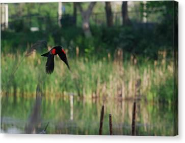 Blackbird In Flight Canvas Print