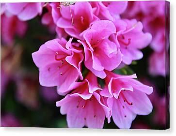 Pink Spring Azalea Bush Flowers  Canvas Print