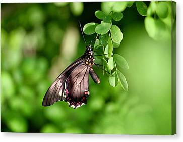 A Butterfly At Rest Canvas Print