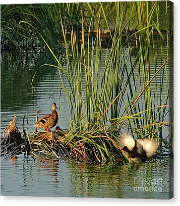 A Ducks Life Canvas Print