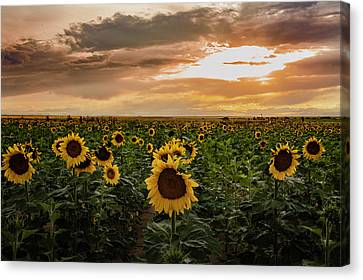 A Field Of Sunflowers At Sunset Canvas Print