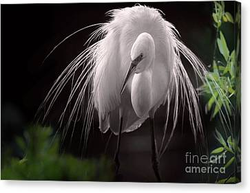 A Touch Of Class - Great Egret With Plumage Canvas Print