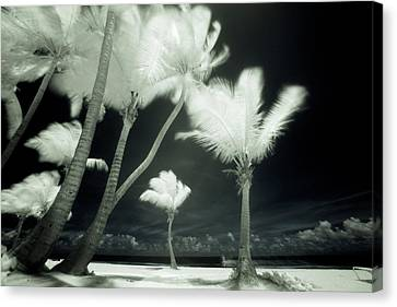 An Infrared Image Of Tall Palm Trees Canvas Print