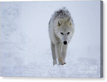 Arctic Wolf In The Snow Canvas Print