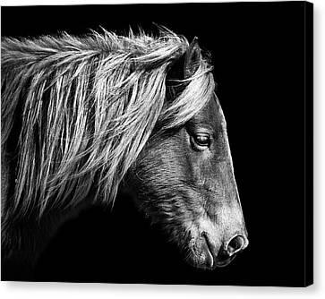 Assateague Pony Sarah's Sweet Tea B And W Canvas Print