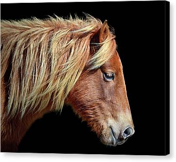 Assateague Pony Sarah's Sweet Tea Portrait On Black Canvas Print