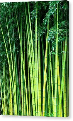 Bamboo Canvas Prints