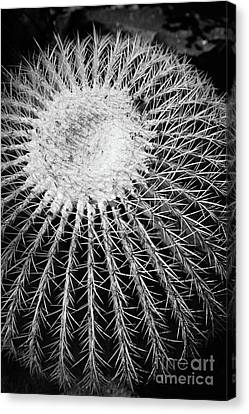 Barrel Cactus Black And White Canvas Print