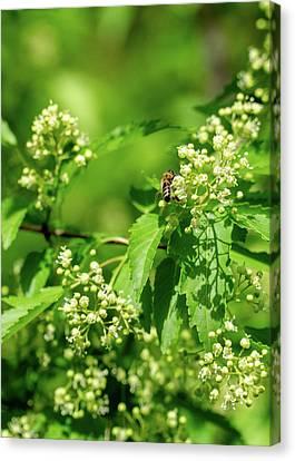 Bee On Amur Maple 1 Canvas Print