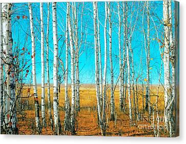 Birch Grove Canvas Print by Vangert