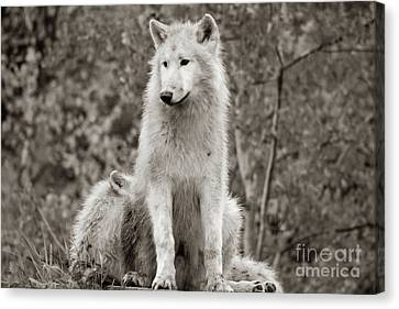 black and white White Arctic wolf Canis lupus arctosportrait has beautiful golde Canvas Print