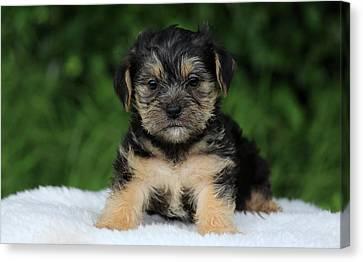 Boomer Puppy Canvas Print