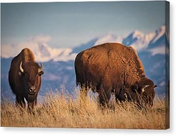 Buffalo Grazing At Dawn Canvas Print