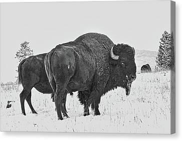 Buffalo In The Snow Canvas Print