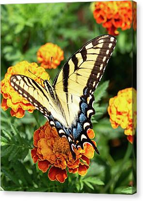 Butterfly001 Canvas Print