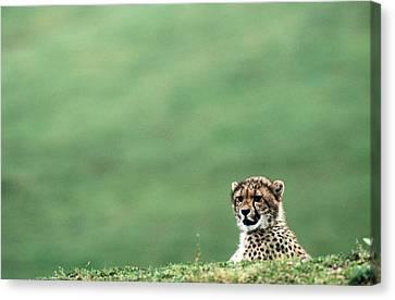 Cheetah Acinonyx Jubatus, United States Canvas Print by Mark Newman