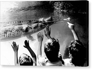 Children Reach Towards The Gharial Canvas Print by New York Daily News Archive